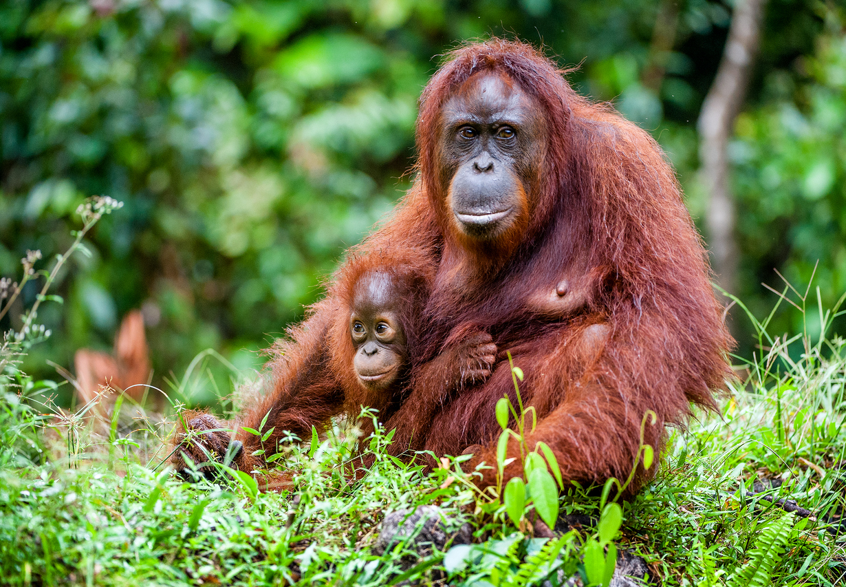 [Q] Where is the world's largest concentration of wild orangutans?