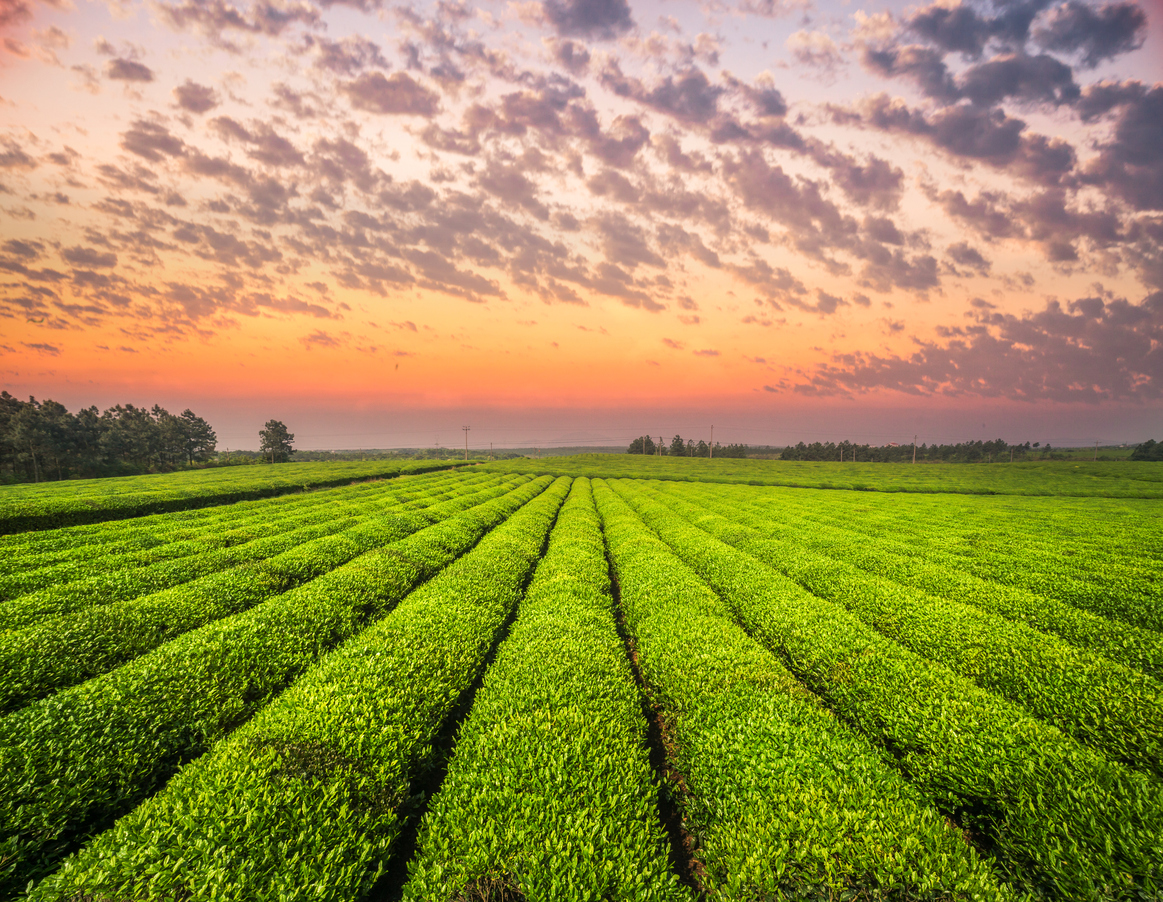[A] Which country consumes the most tea total every year?